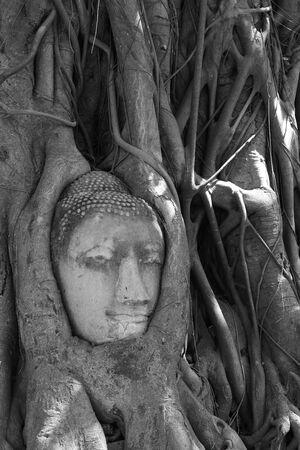 Buddha head in tree roots photo