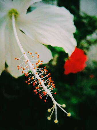 white: A White hibiscus flower