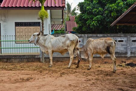 Asian white cows Stock Photo - 13670183