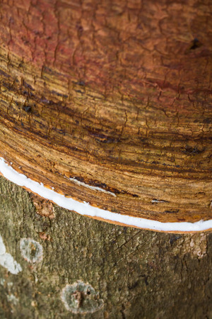 tapper: Milky latex extracted from rubber tree  Hevea Brasiliensis  Stock Photo