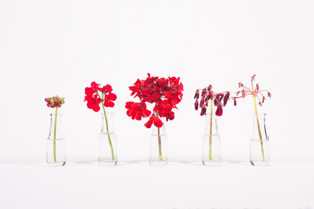Row of red flowers in glass jars, cycle from bloom to wither, on white background Standard-Bild