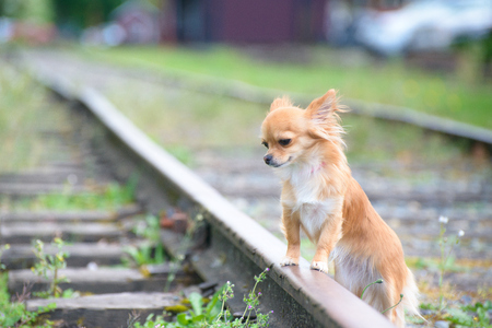 miserable: Little sad russet Chihuahua dog standing on railroad all alone, waiting.