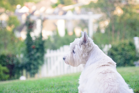 the well groomed: Well groomed white terrier sitting on nice suburban lawn, looking for something. Great background view.