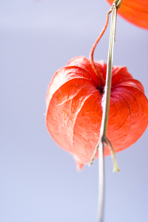 Red orange dry physalis alkekengi lanterns