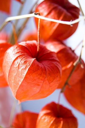 Red orange dry physalis alkekengi lanterns