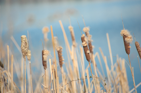 Brown reed cattail in blue lake
