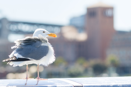 Tousled bird seagull with city on background