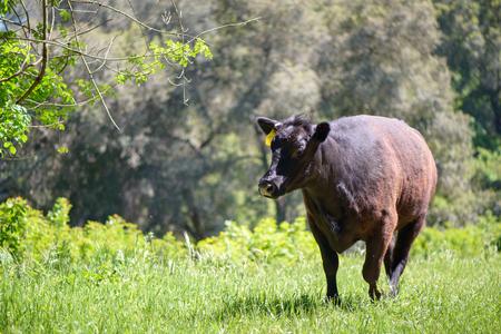 Black cow in green field Stock Photo