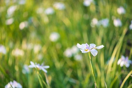 Beautiful iris flower with blurred green background 版權商用圖片