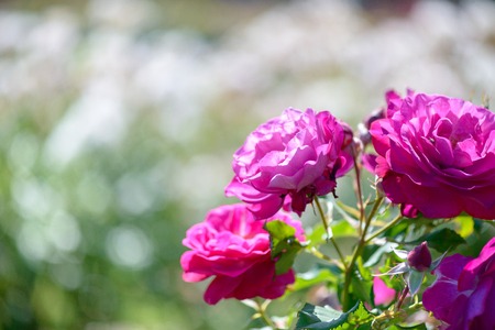 Beautiful pink and purple roses flowers with blurred green background