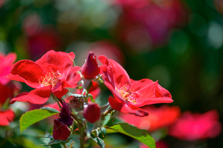 Beautiful red roses flowers with blurred green background