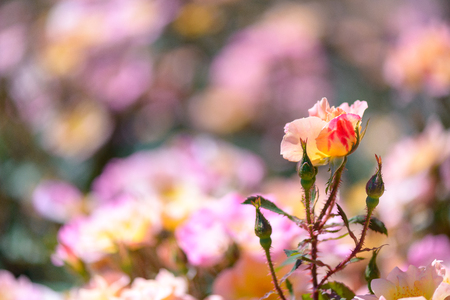 Beautiful pink and yellow roses flowers with blurred green background