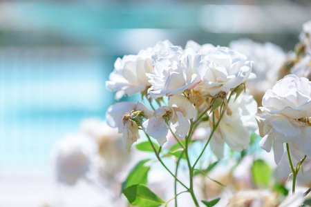Beautiful white roses flowers with blurred background