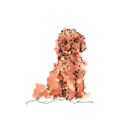 Watercolor illustration of Toy Poodle dog sketch isolated on white 版權商用圖片