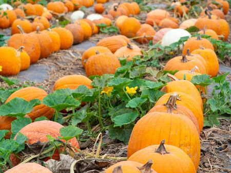 Row of big pumpkins growing on farm field patch, choose the best one for Halloween or Thanksgiving 版權商用圖片