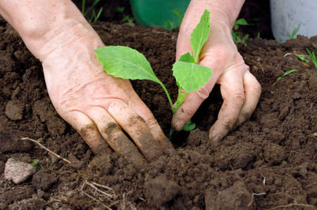 earthly: Cabbage planting