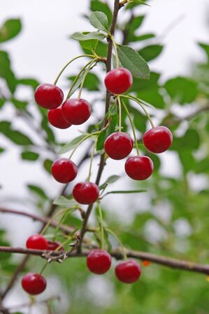 unripe: Red and sweet cherries on a branch Stock Photo