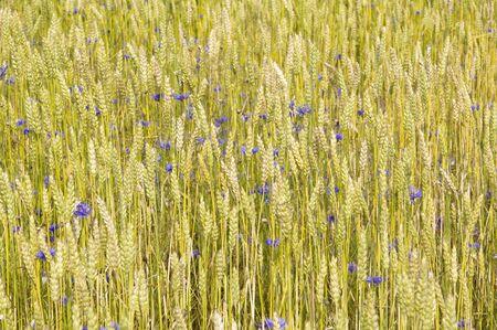 Cornflowers in the field  photo