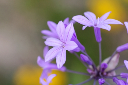 violet flowers on grey yellow background  photo