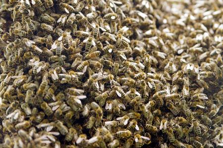 bee swarm: closeup shoot of a bee swarm working Stock Photo