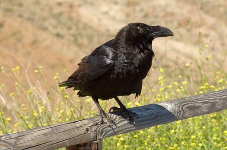 corax: Common Raven