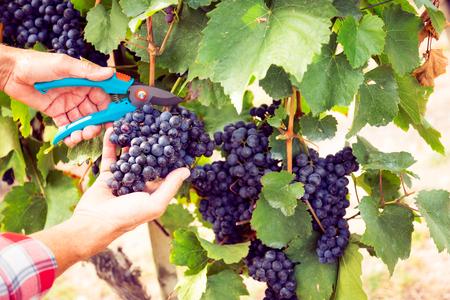 Winemaker Harvesting Grapes Zdjęcie Seryjne
