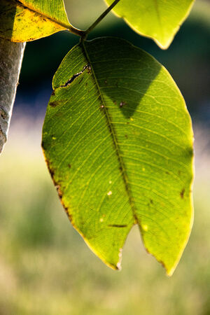pipal: Yellow-green leaf of pipal Stock Photo