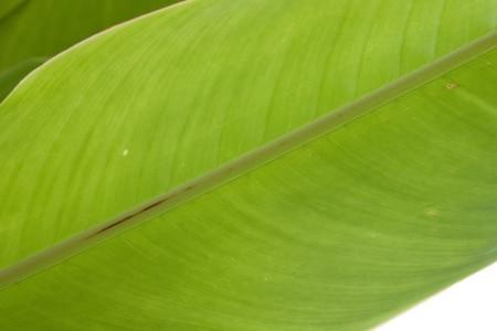 Banana leaf1