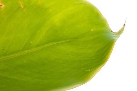 Banana leaf2