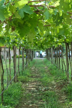 Vineyard in Kohyai Thailand