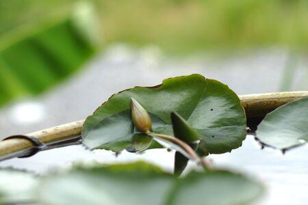 einrollen: Lotusblume furl Lizenzfreie Bilder
