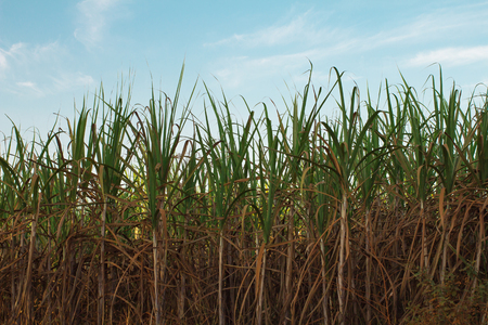 sugar land: Sugarcane field with sky background Stock Photo