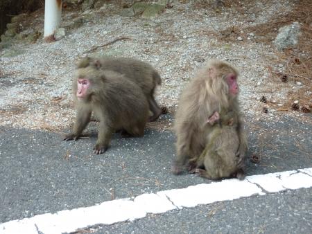 The Japanese monkey of Yaku Islands Stock Photo
