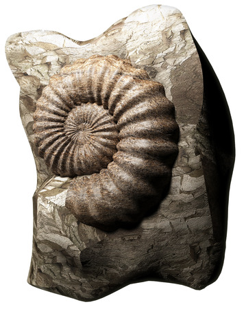 devonian: Ammonite