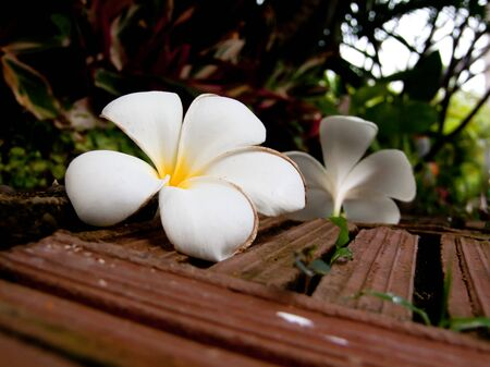 Frangipani flowers and Brick floor photo
