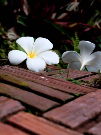 Frangipani flowers and Brick floor 2 photo