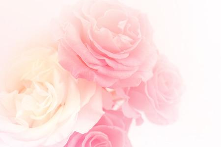 柔らかい色にピンクのバラを光し、背景のスタイルをぼかし