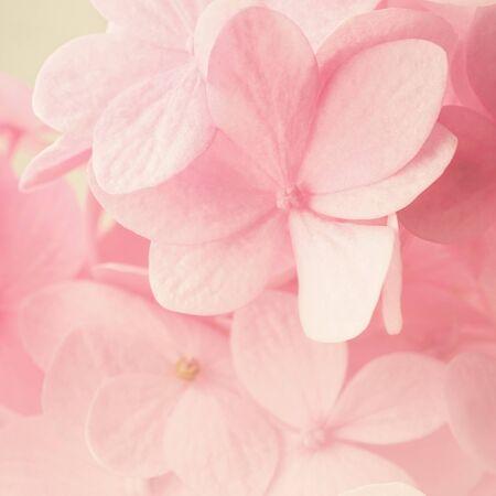 sfondo romantico: Dolce rosa Ortensie in stile colore morbido per sfondo romantico