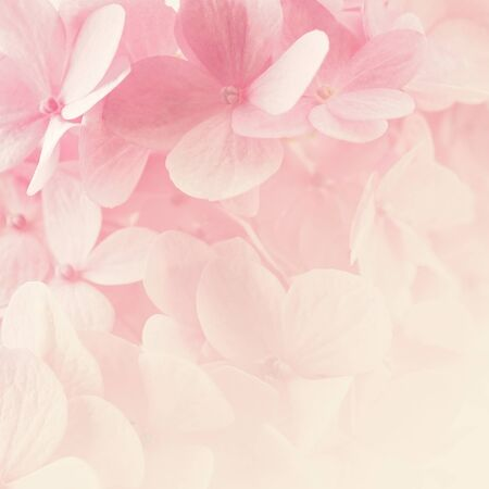 Sweet Pink Hydrangeas in soft color style for romantic background Stock Photo