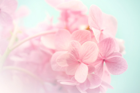 spa flower: sweet color hydrangeas in soft and blur style for background Stock Photo