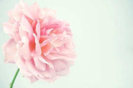 背景の柔らかい色スタイルの甘いバラ 写真素材