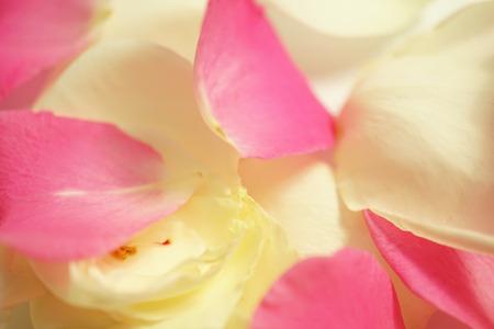 sfondo romantico: colore dolce petali di rosa per lo sfondo romantico