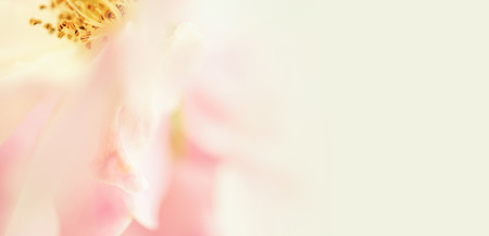 sfondo romantico: sweet color petal rose for romantic background