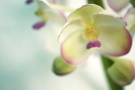 blue orchid: Sweet color orchid in soft color and blur style on mulberry paper texture