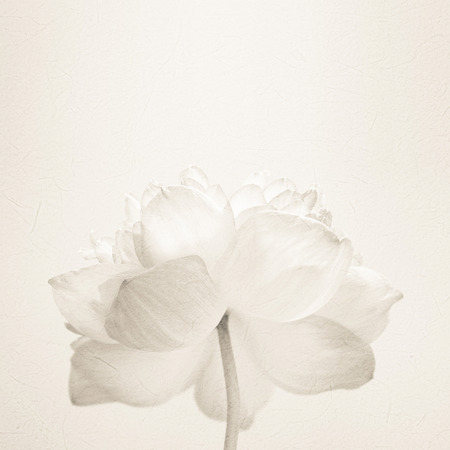 white lotus: sweet color lotus in soft color and blur style on mulberry paper texture