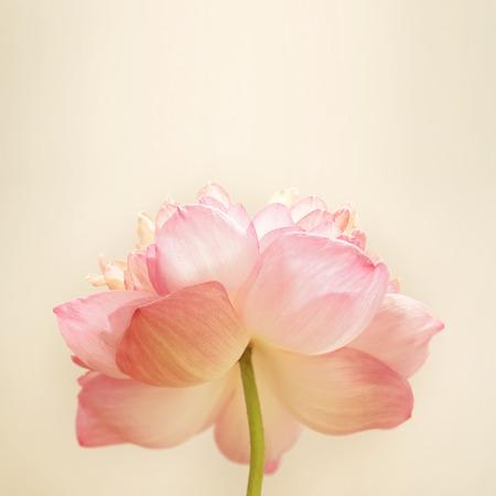 rosas rosadas: dulce de loto de color en el color y la falta de definici�n de estilo suave en textura de papel de morera