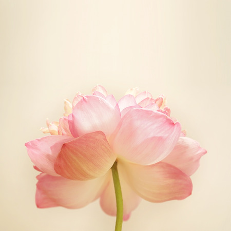 pink        color: sweet color lotus in soft color and blur style on mulberry paper texture