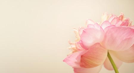 Douce de lotus de couleur en couleur et flou style doux sur papier mûrier texture Banque d'images - 43810906