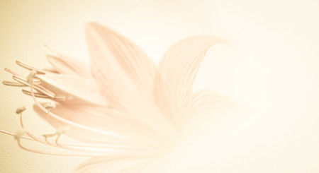 color in: sweet color petal lily in soft color and blur style on mulberry paper texture for background