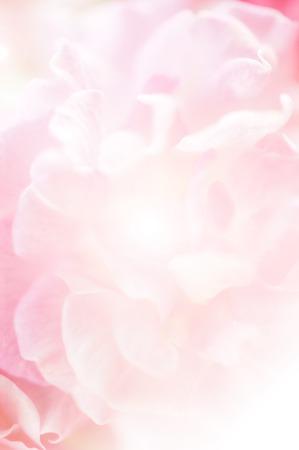 핑크 장미, 달콤한 부드러운 색상 배경